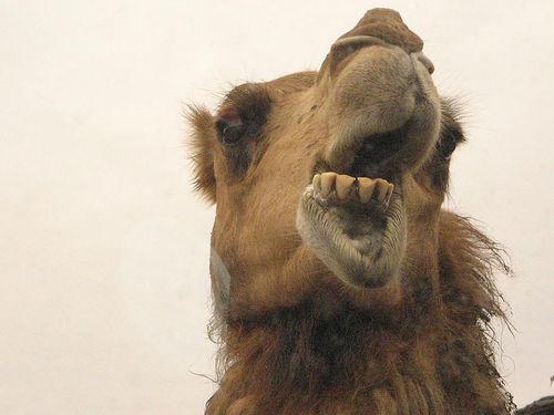 muhammad licking camel asshole